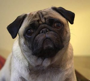 A Pug dog stares directly at the camera